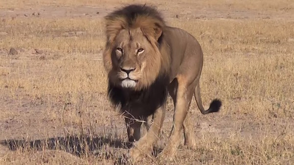 US dentist and big game hunter Walter Palmer reportedly paid $55,000 to kill Cecil the lion. Photo: Bryan Orford / YouTube via The Week